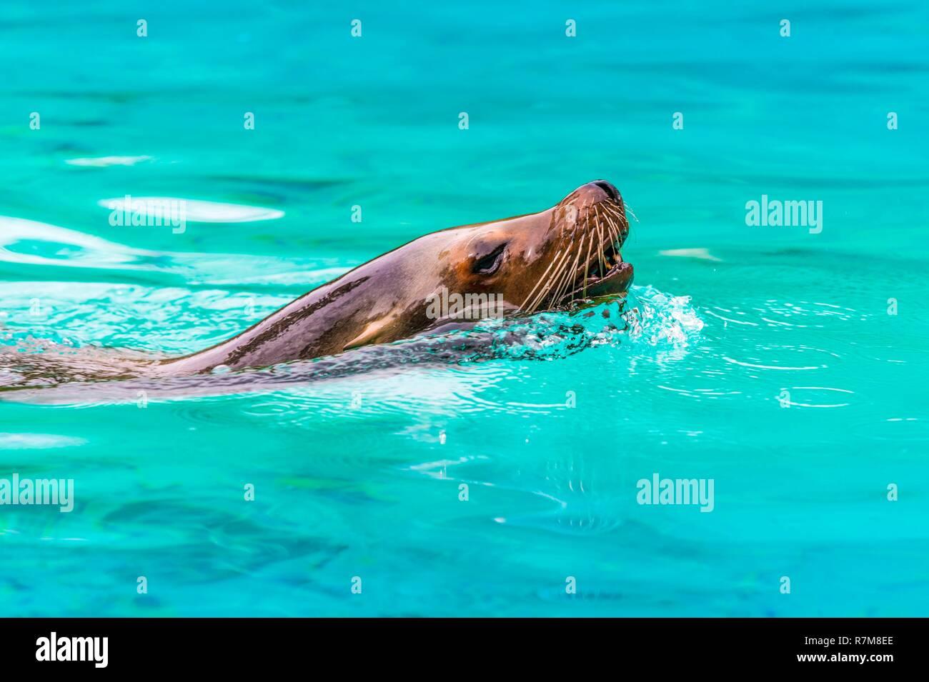 France, Sarthe, La Fleche, La Fleche Zoo, California Sea Lion (Zalophus californianus) Swimming in its poolotection Status, Locally Protected Species, IUCN Status, Least Concern (LR-lc) - Stock Image