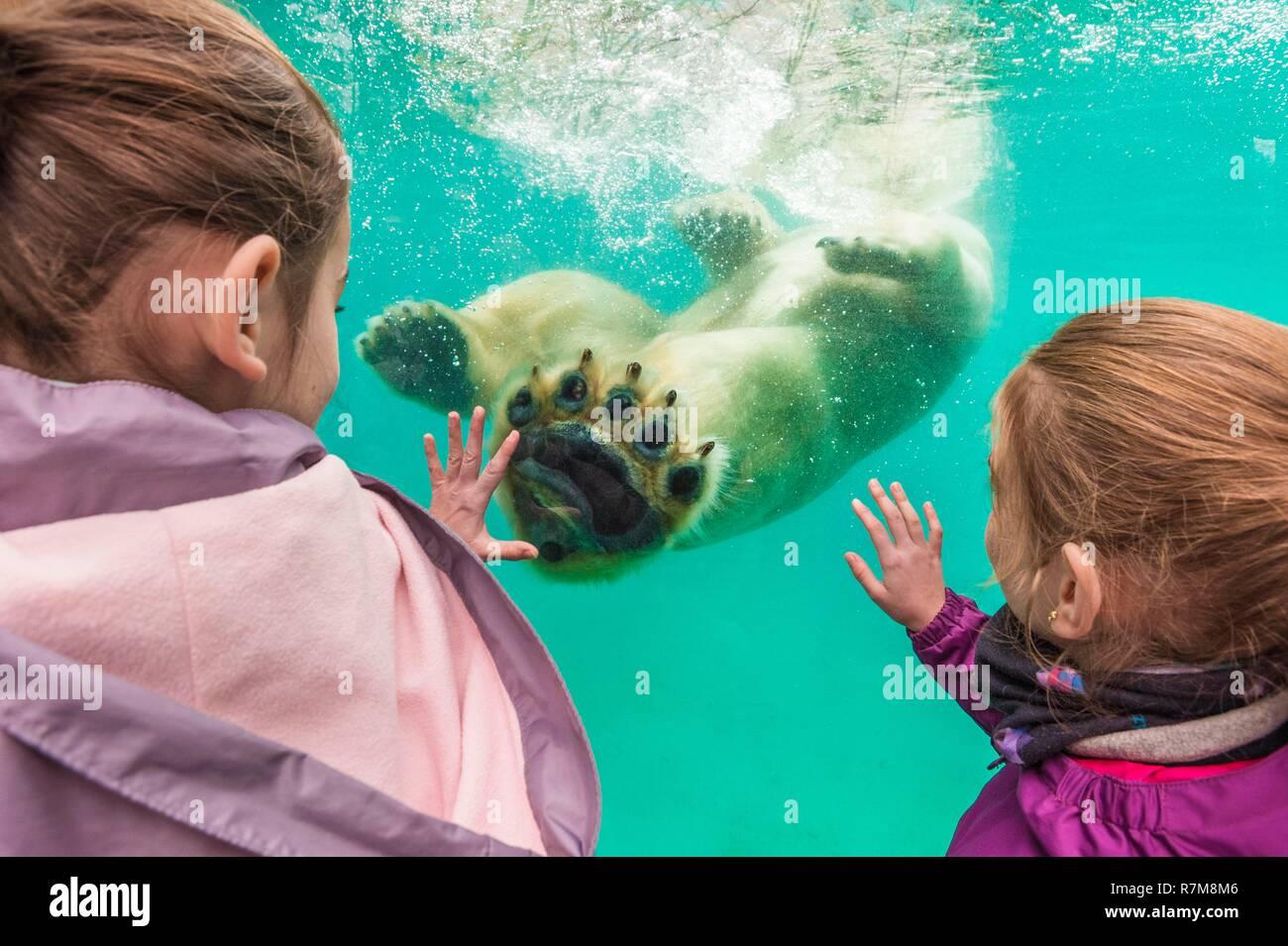 France, Sarthe, La Fleche, La Fleche Zoo, family observation of Taïko, male polar bear (Ursus maritimus) swimming in its basinotection status, Washington Convention Appendix II B (CITES), IUCN status, Minimum risk, dependent on conservation measures (LR-cd) - Stock Image