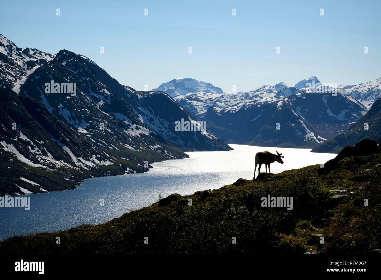 Norway, Oppland, Vaga, Jotunheimen National Park, Besseggen Ridge, reindeer in fromt of the Lake Gjende - Stock Image