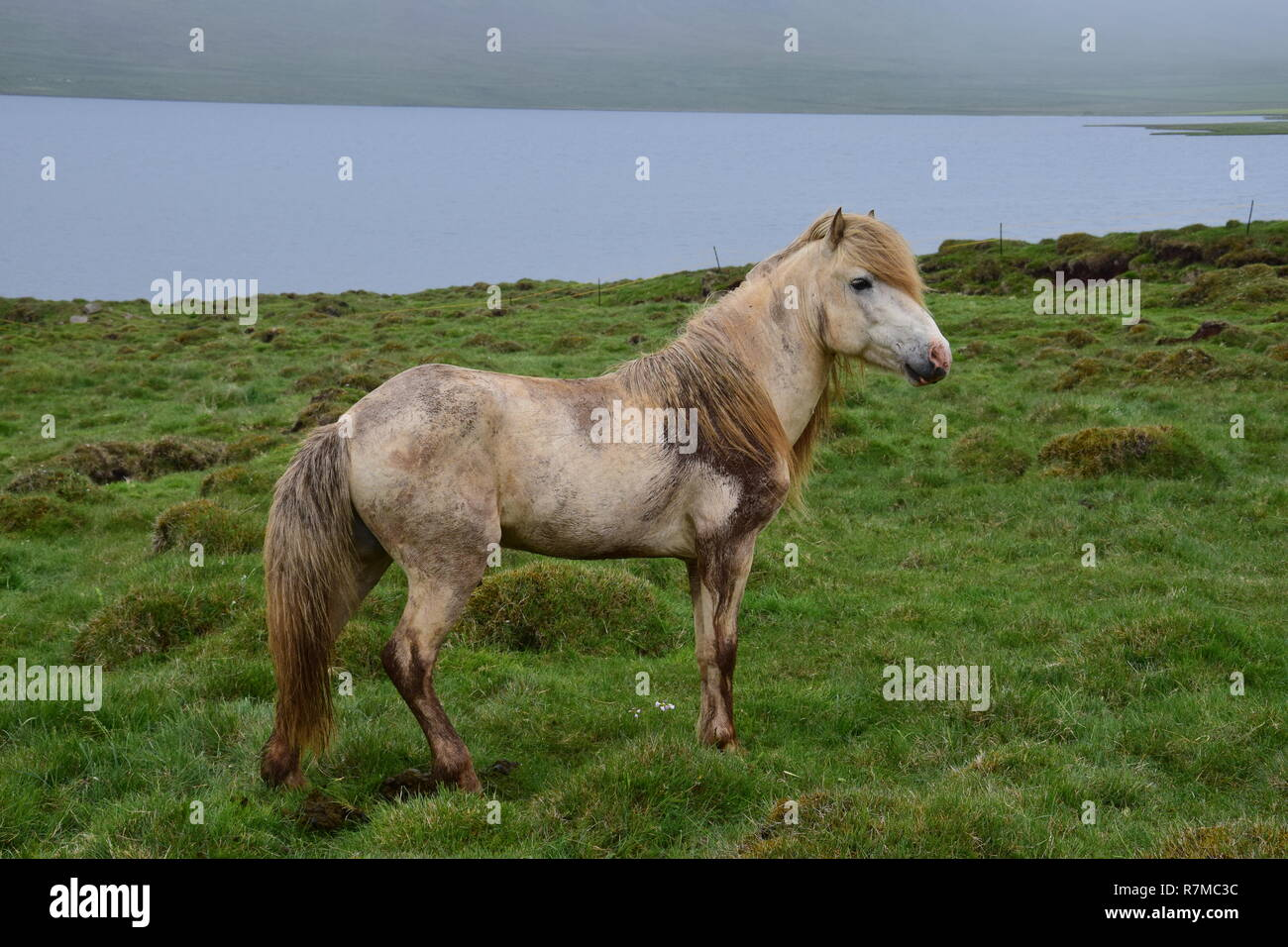 White Icelandic stallion with stains of dirt and mud. Icelandic landscape with bad weather in the background. - Stock Image