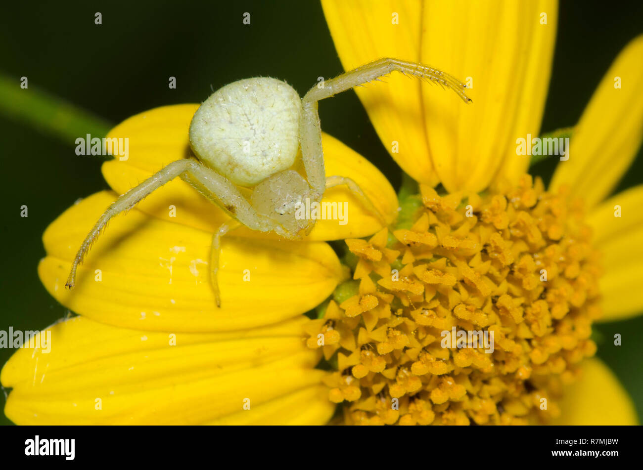 Crab Spider, Mecaphesa sp., lurking on Skeleton-Leaf Goldeneye, Viguiera stenoloba Stock Photo