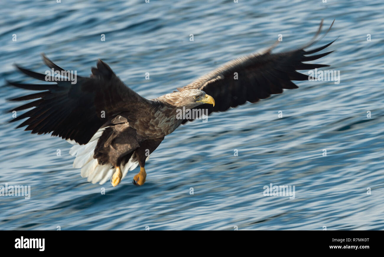 Adult White-tailed eagle fishing. Blue Ocean Background. Scientific name: Haliaeetus albicilla, also known as the ern, erne, gray eagle, Eurasian sea  Stock Photo