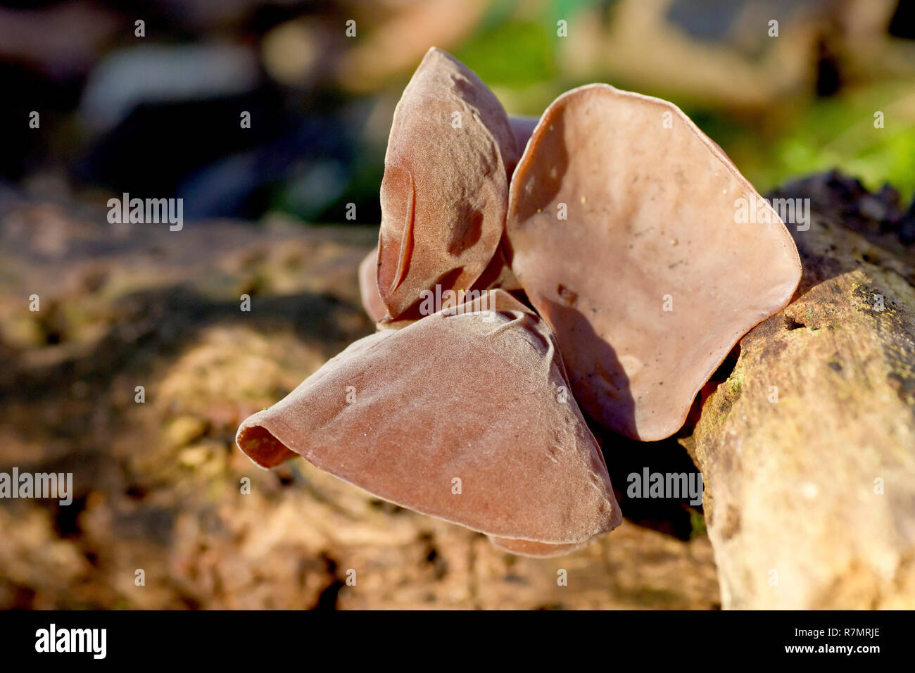 Close up of Hirneola Auricula-judae fungi growing on a fallen tree. Formerly known as Jew's Ear, now commonly called Jelly Ear. - Stock Image