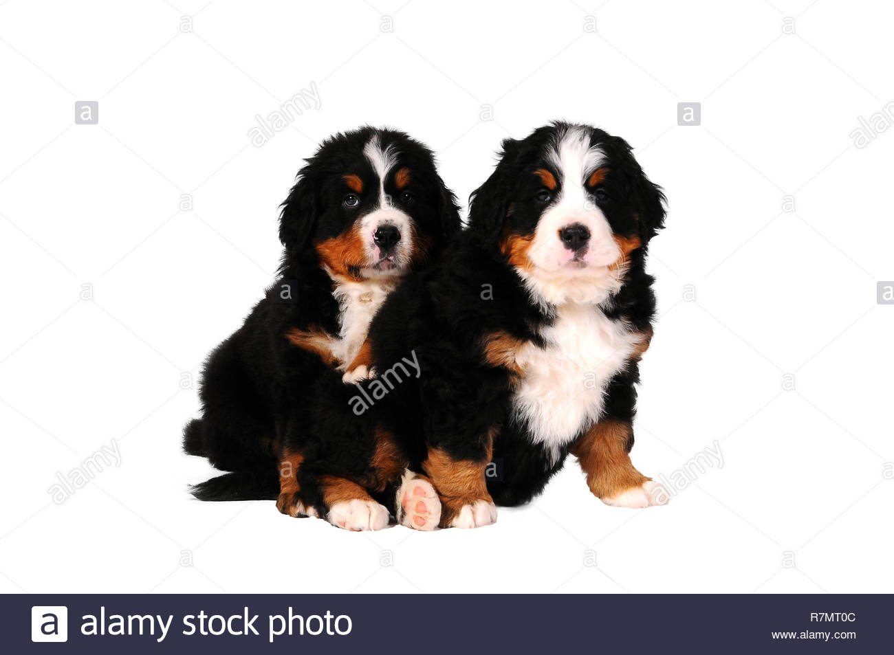 puppy bouvier bernese mountain dog isolated on white background R7MT0C