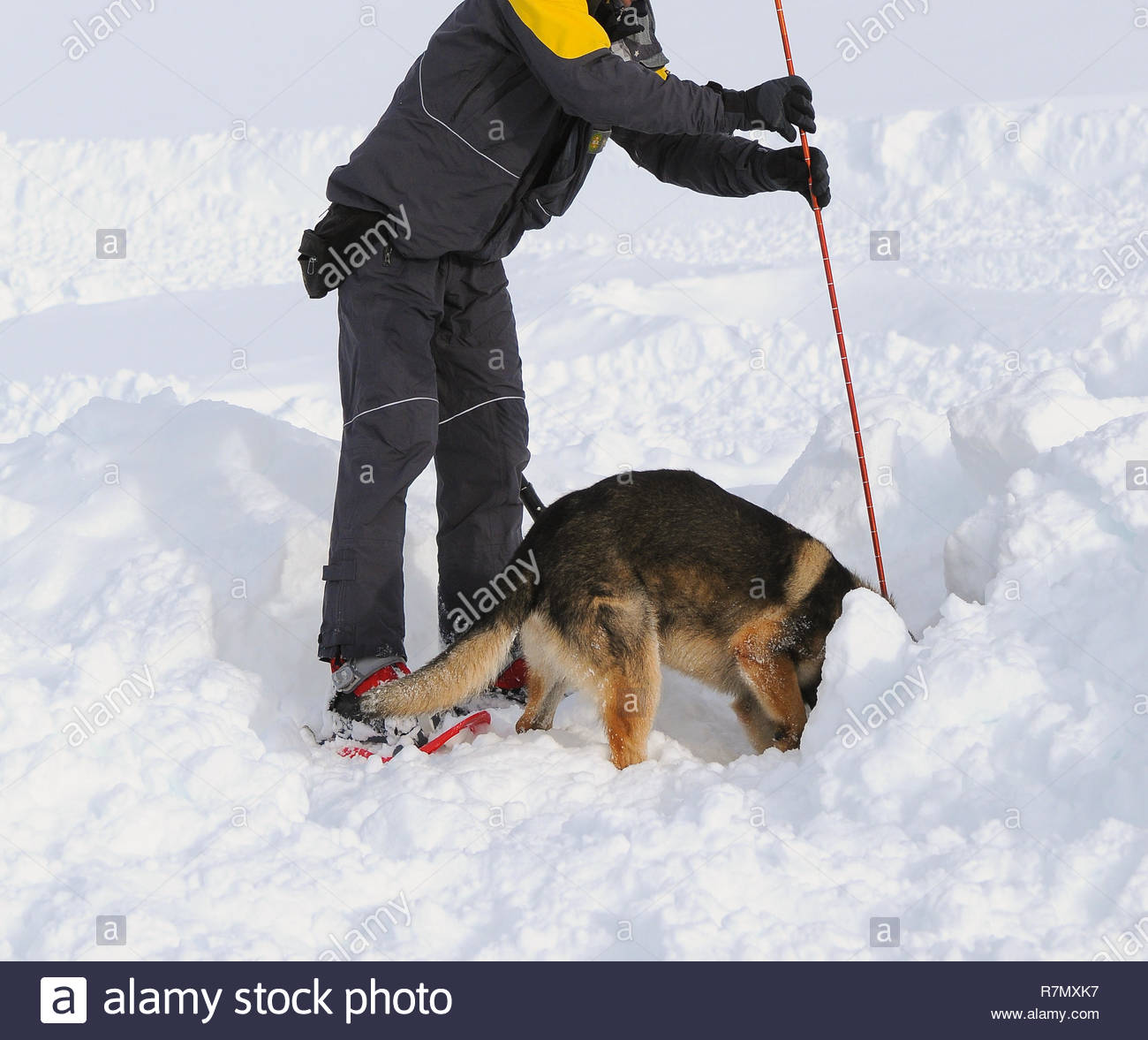 German shepherd dog rescue dog on snow. - Stock Image