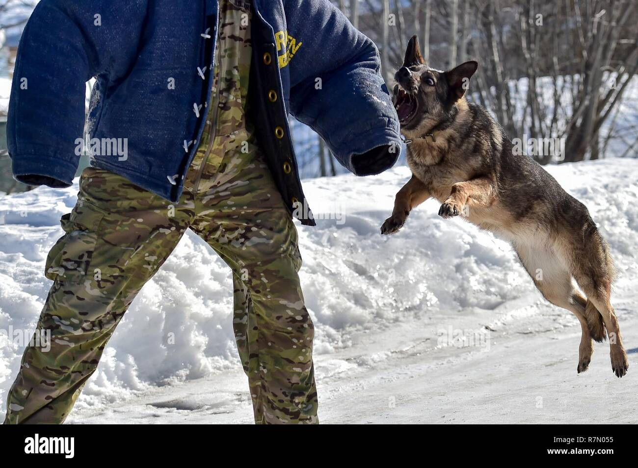 Darla A German Shepherd Assigned To The 549th Military Working Dog