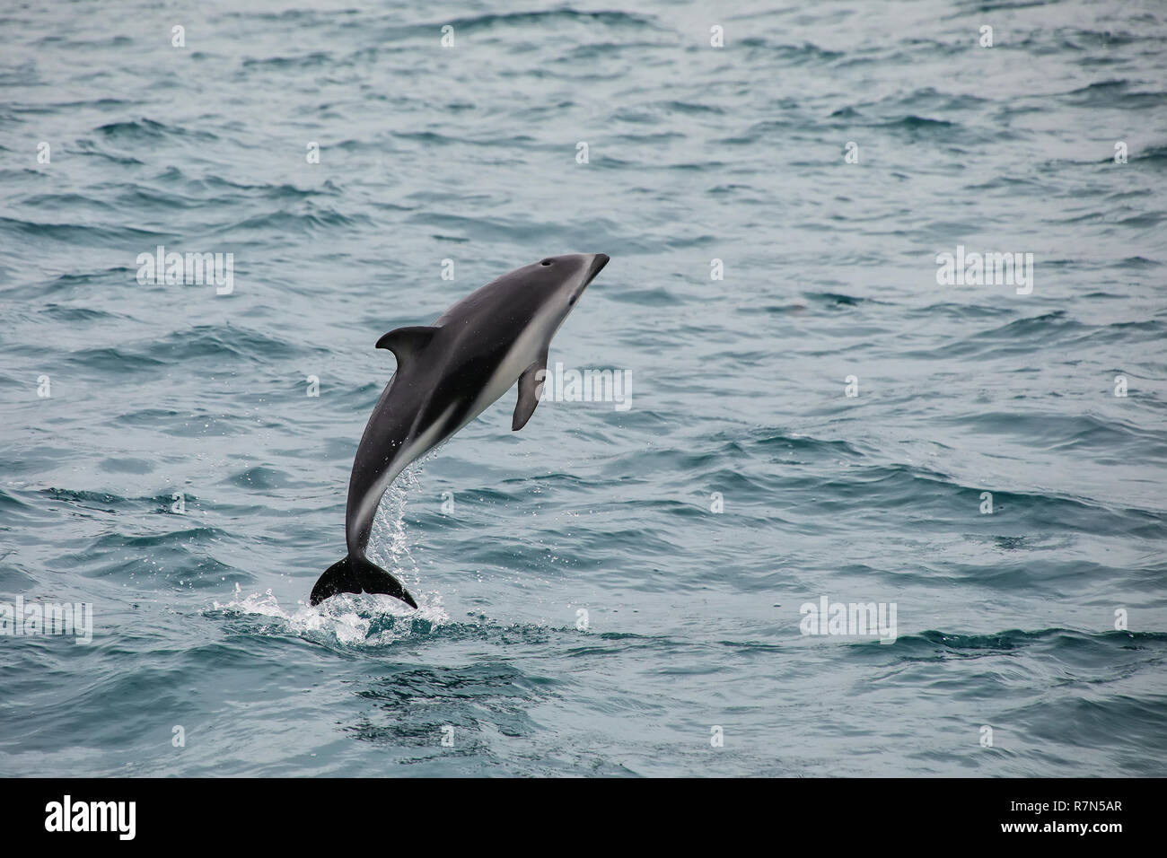 Dusky dolphin leaing out of the water near Kaikoura, New Zealand. Kaikoura is a popular tourist destination for watching and swimming with dolphins. - Stock Image