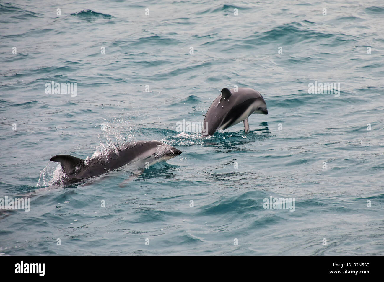 Dusky dolphins swimming off the coast of Kaikoura, New Zealand. Kaikoura is a popular tourist destination for watching and swimming with dolphins. - Stock Image