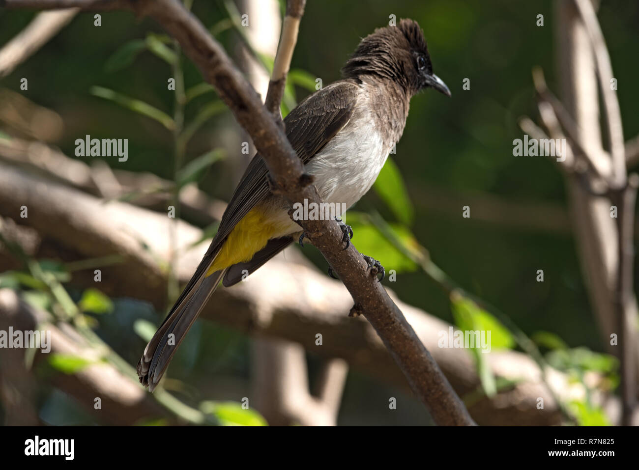 A dark capped bulbul sits on a tree branch, Botswana - Stock Image