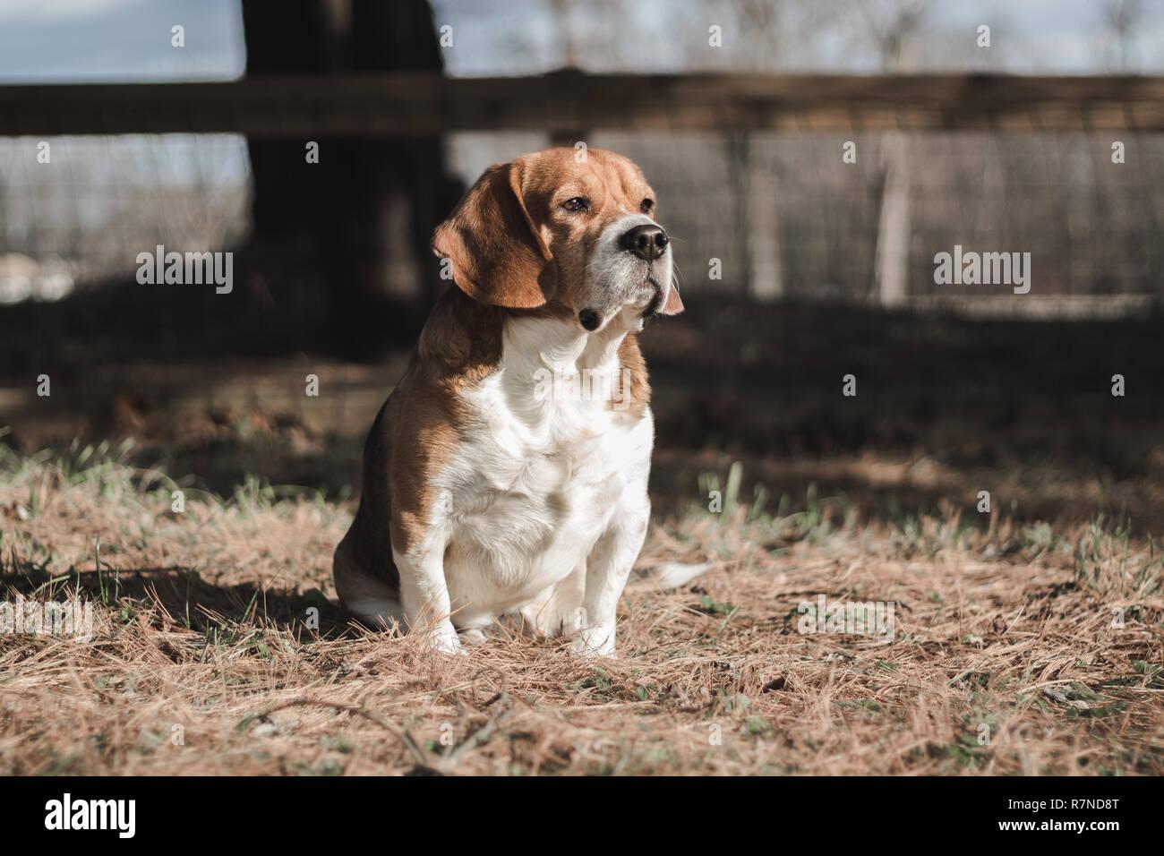 a cute beagle posing, naturally - Stock Image