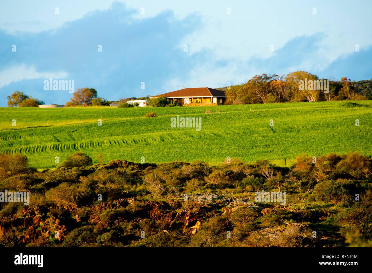 Wheat Field in Mid West - Western Australia - Stock Image