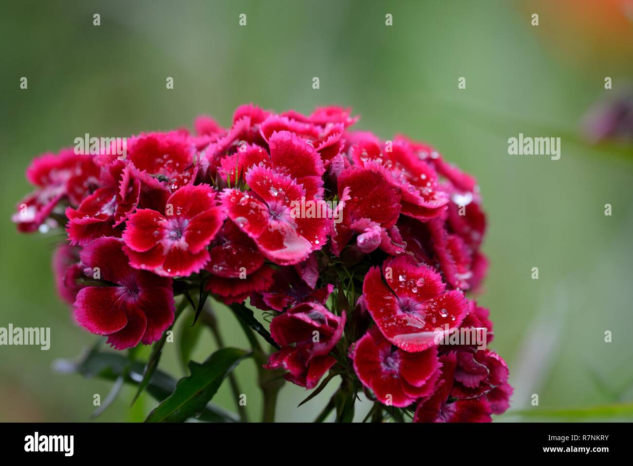 Close up of red sweet William (dianthus barbatus) flowers covered in water - Stock Image
