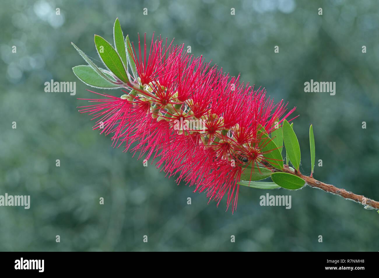 Callistemon citrinus, the Crimson bottlebrush or Red Bottlebrush, family Myrtaceae - Stock Image