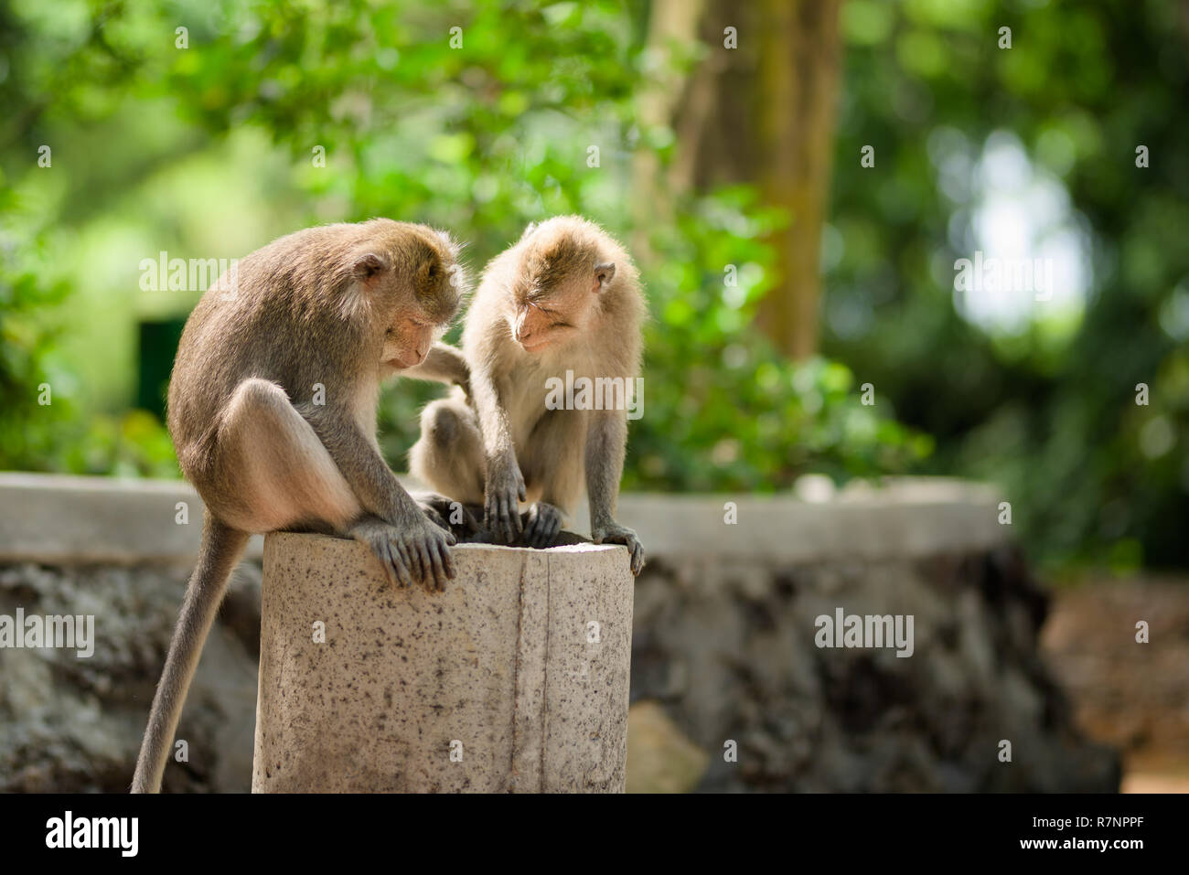 Two adult male Long-Tailed macaque monkeys inspect a pipe in Ubud Sacred Forest, Bali, Indonesia. - Stock Image