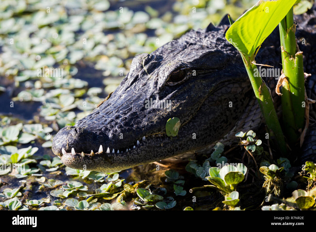 A close view of the head of a young adult Alligator amongst weed, Florida Everglades, southern USA, United States of America - Stock Image