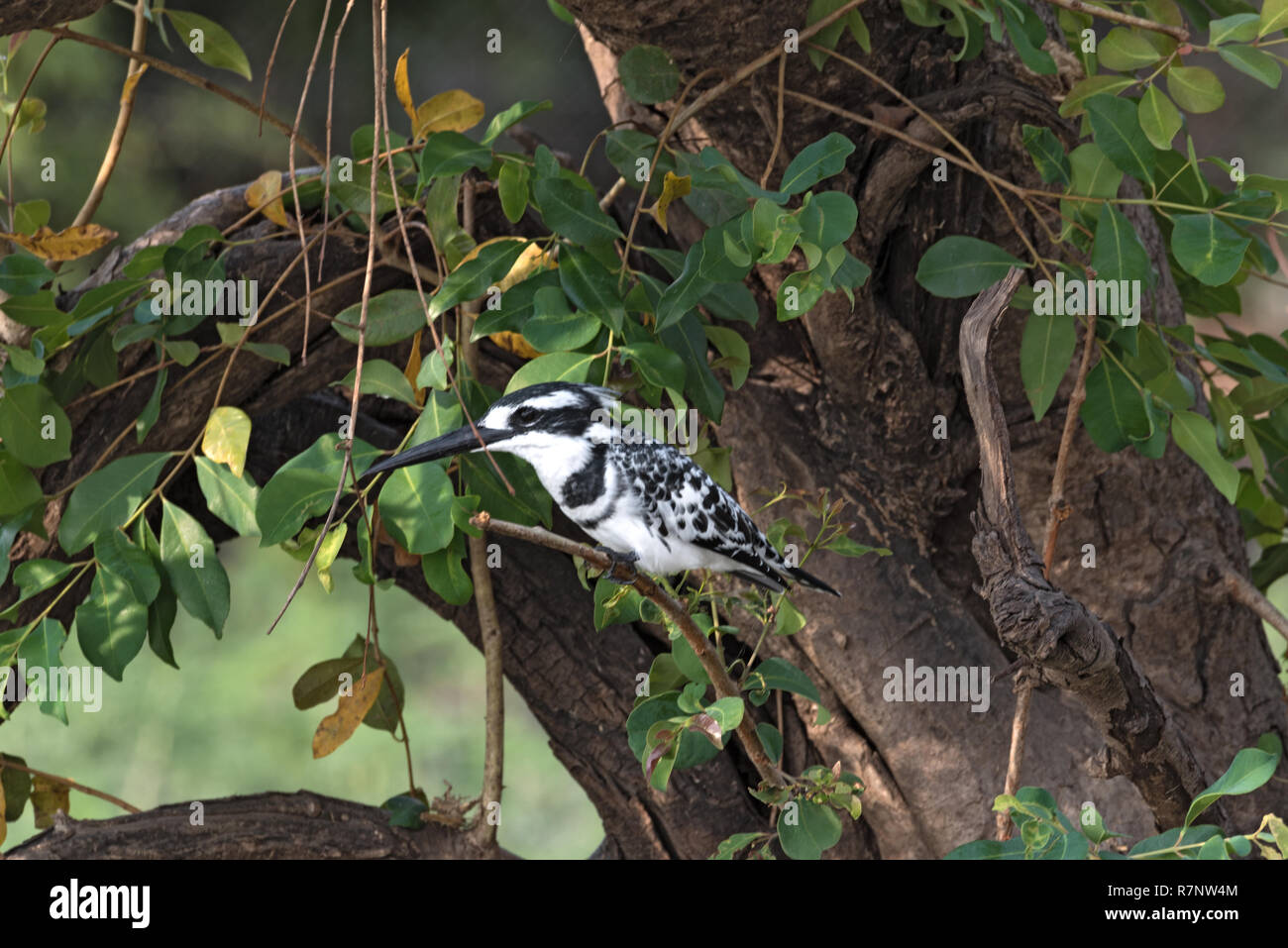Pied kingfisher perched sits on a tree branch, Botswana - Stock Image