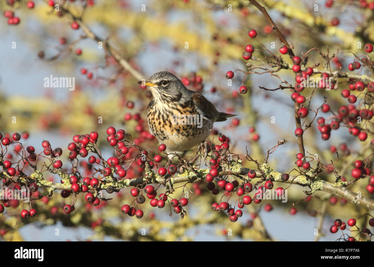 A stunning Fieldfare (Turdus pilaris) perching on a hawthorn tree eating the berries. - Stock Image