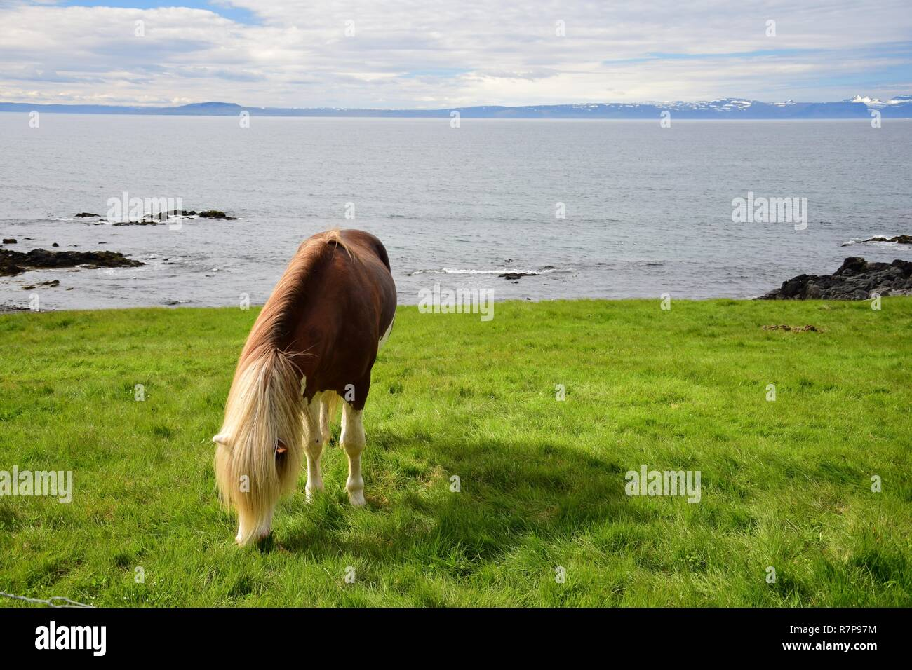Icelandic stallion in the color splashed white, with white legs and a white head. Icelandic landscape in the background. - Stock Image
