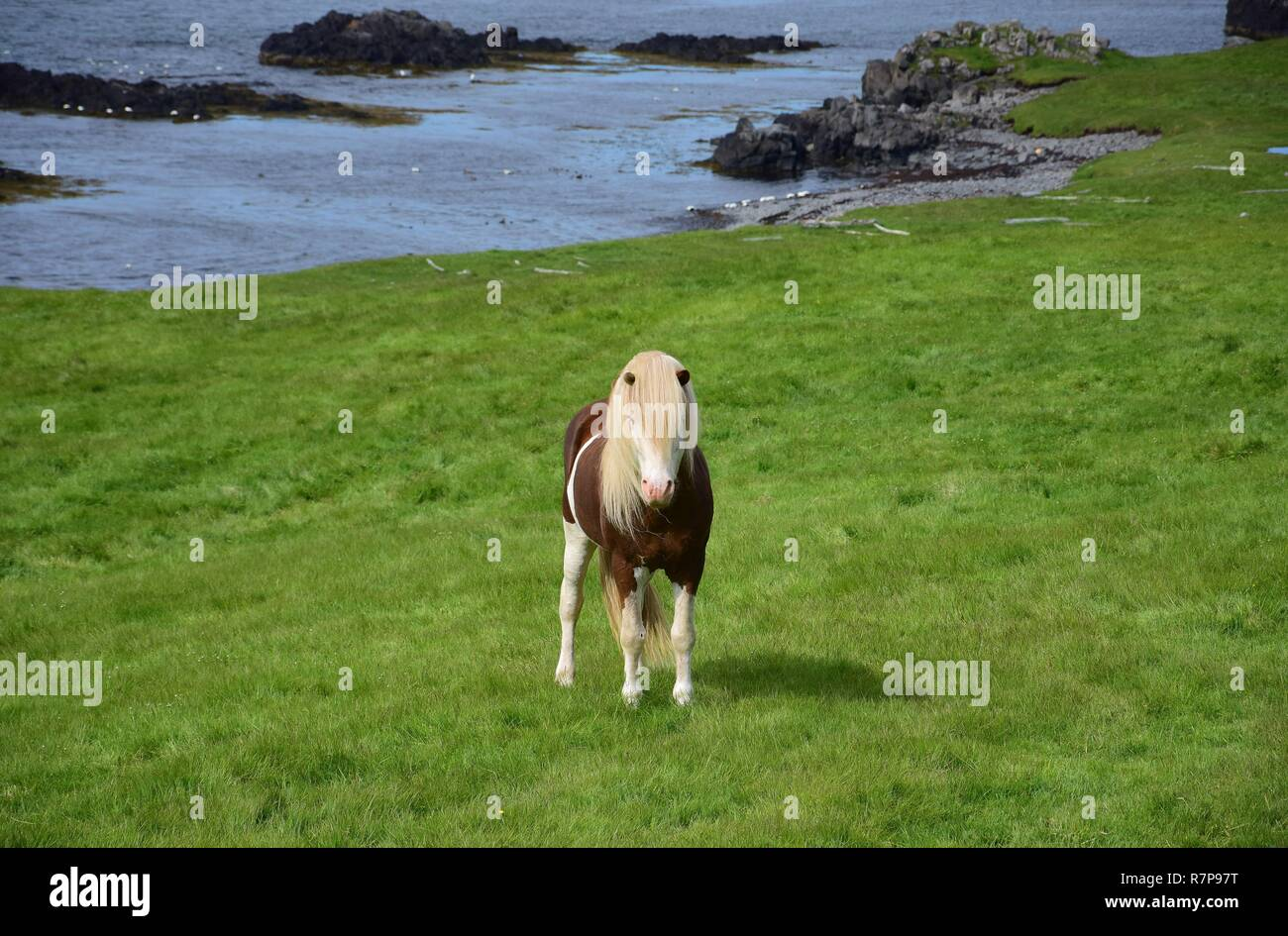 Icelandic stallion in the color splashed white, with white legs and a white head with blue eyes. Icelandic landscape in the background. - Stock Image