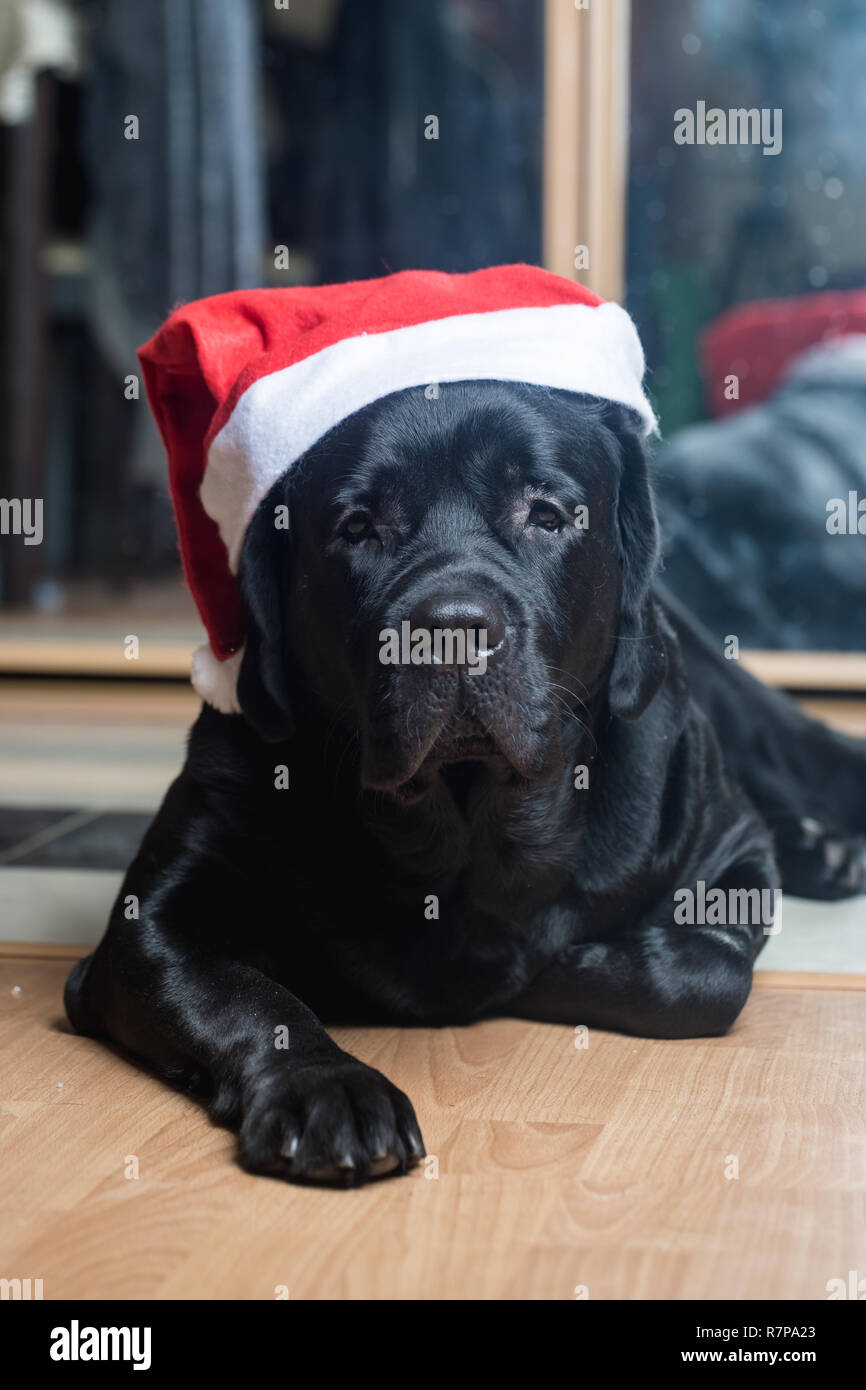 Page 2 Black Labrador Puppy Christmas High Resolution Stock Photography And Images Alamy