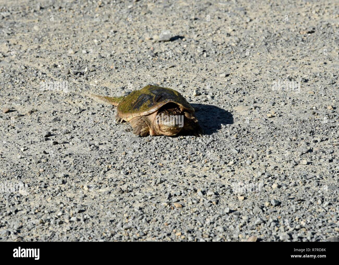Snapping Turtle Usa Stock Photos & Snapping Turtle Usa Stock Images