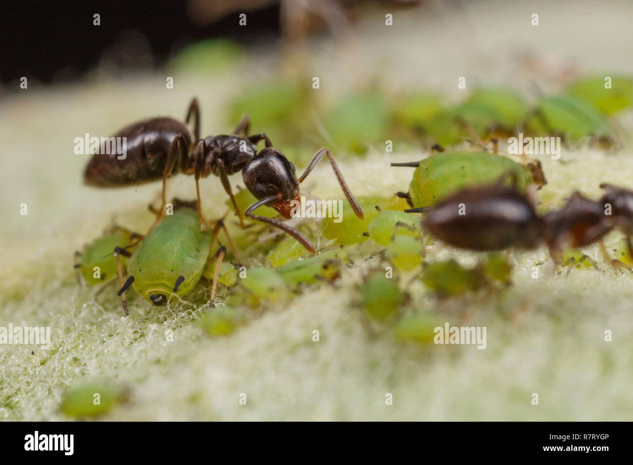 Technomyrmex ants tending green aphids on an apple tree, Albany, Western Australia - Stock Image