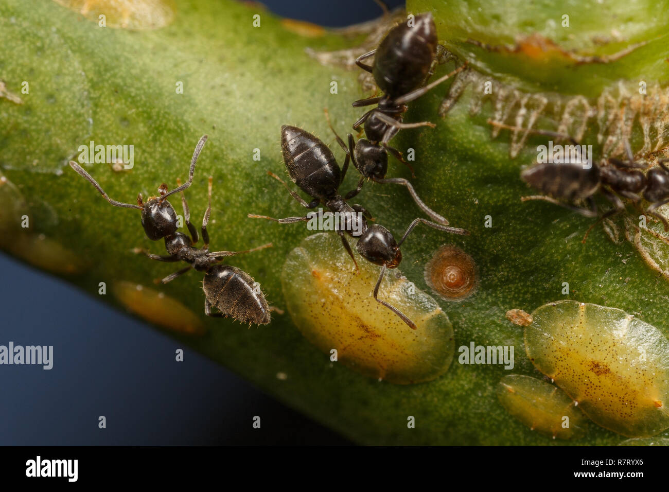 Technomyrmex ants tending scale insects on an apple tree, Albany, Western Australia - Stock Image