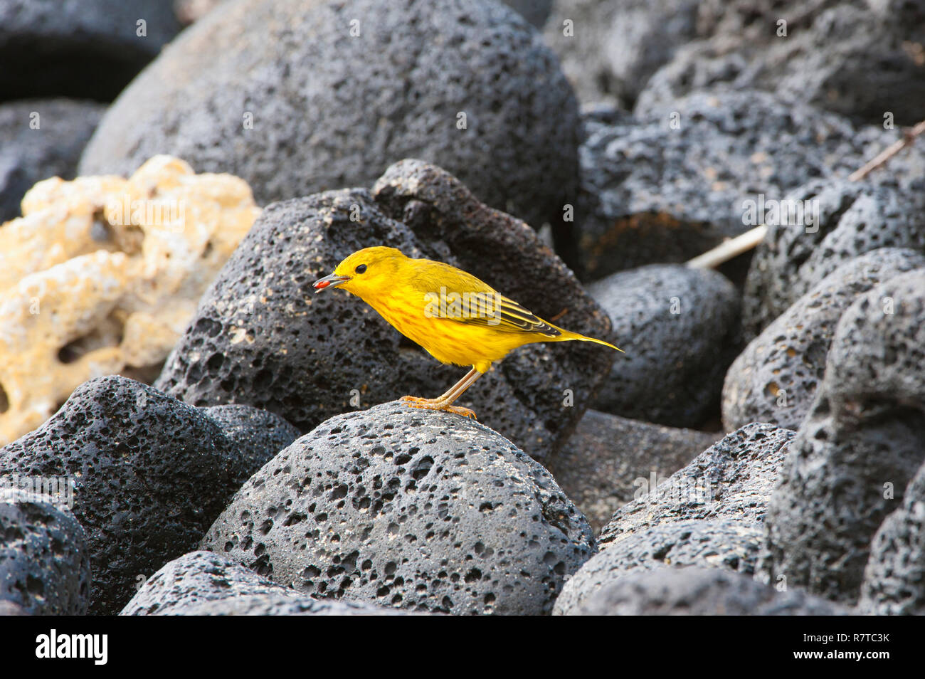 American Yellow Warbler (Dendroica petechia aureola), Galápagos - Stock Image