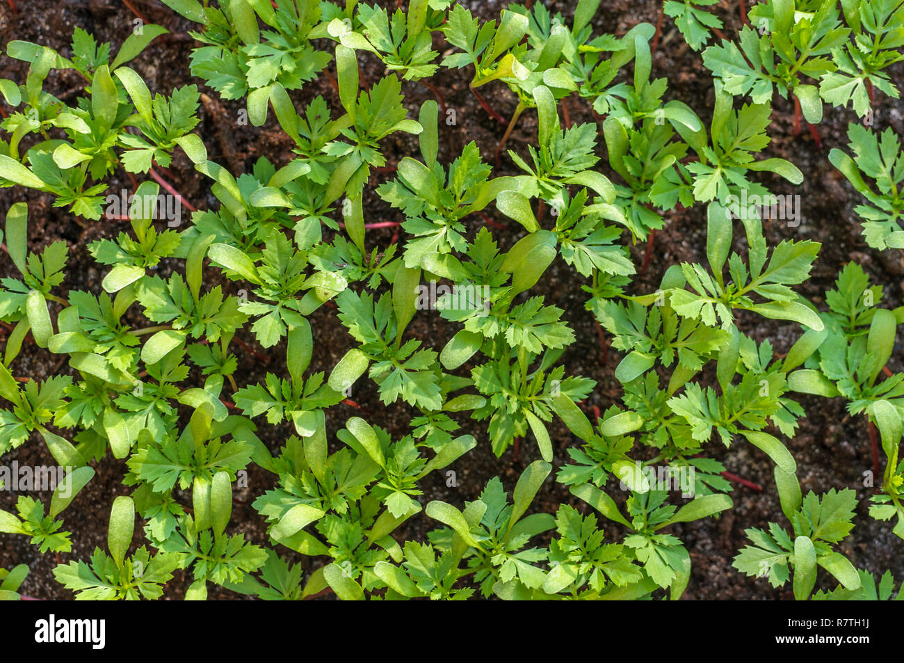 Marigold Sprout Stock Photos Marigold Sprout Stock Images Alamy