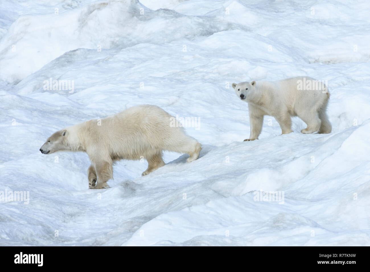 Polar Bears (Ursus maritimus), mother with a cub, 2 years, Wrangel Island, Far Eastern Federal District, Russia - Stock Image