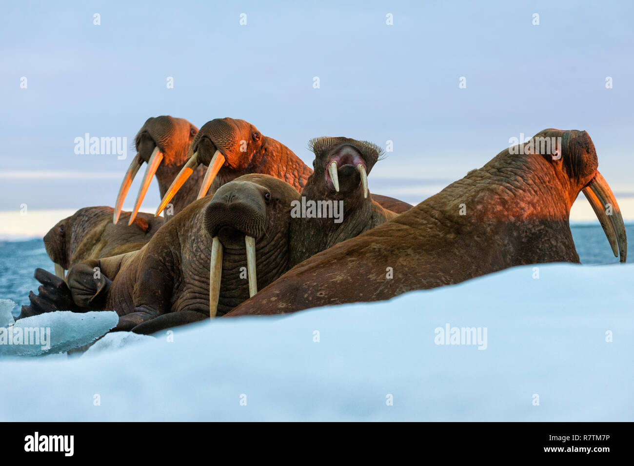 Group of Walruses (Odobenus rosmarus) in the evening light, Wrangel Island, Far Eastern Federal District, Russia - Stock Image
