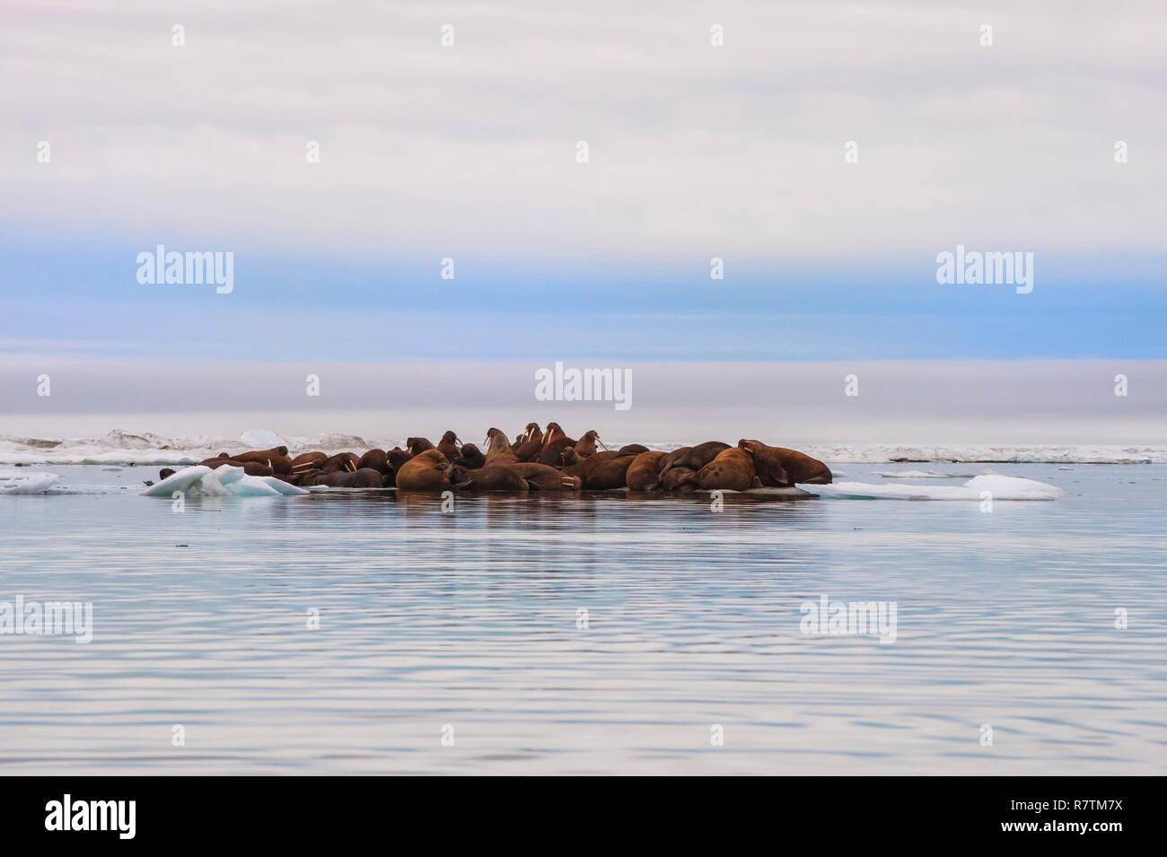 Group of Walruses (Odobenus rosmarus) resting on an ice floe, Wrangel Island, Far Eastern Federal District, Russia - Stock Image
