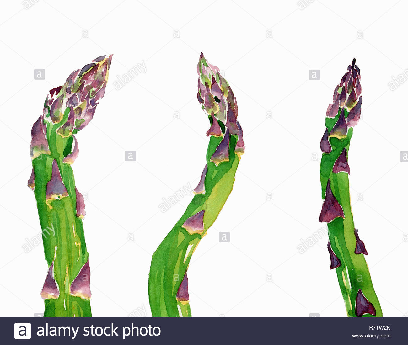 Watercolor painting of fresh asparagus spears Stock Photo