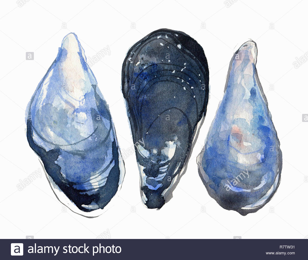 Watercolor painting of three mussels Stock Photo