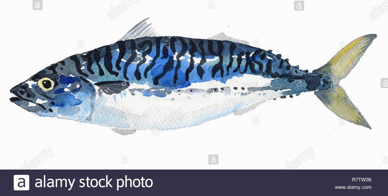Watercolor painting of mackerel - Stock Image