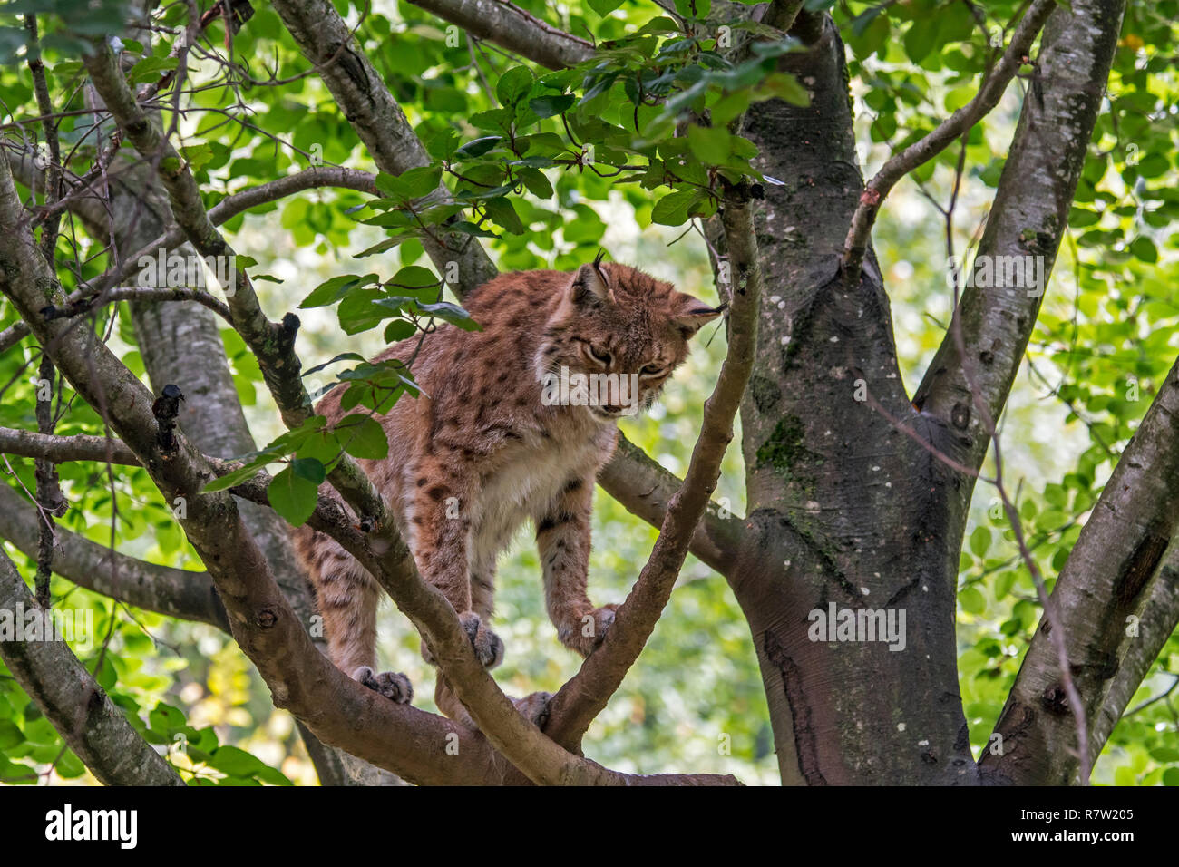 Eurasian lynx (Lynx lynx) looking down from branch in tree canopy	in forest - Stock Image