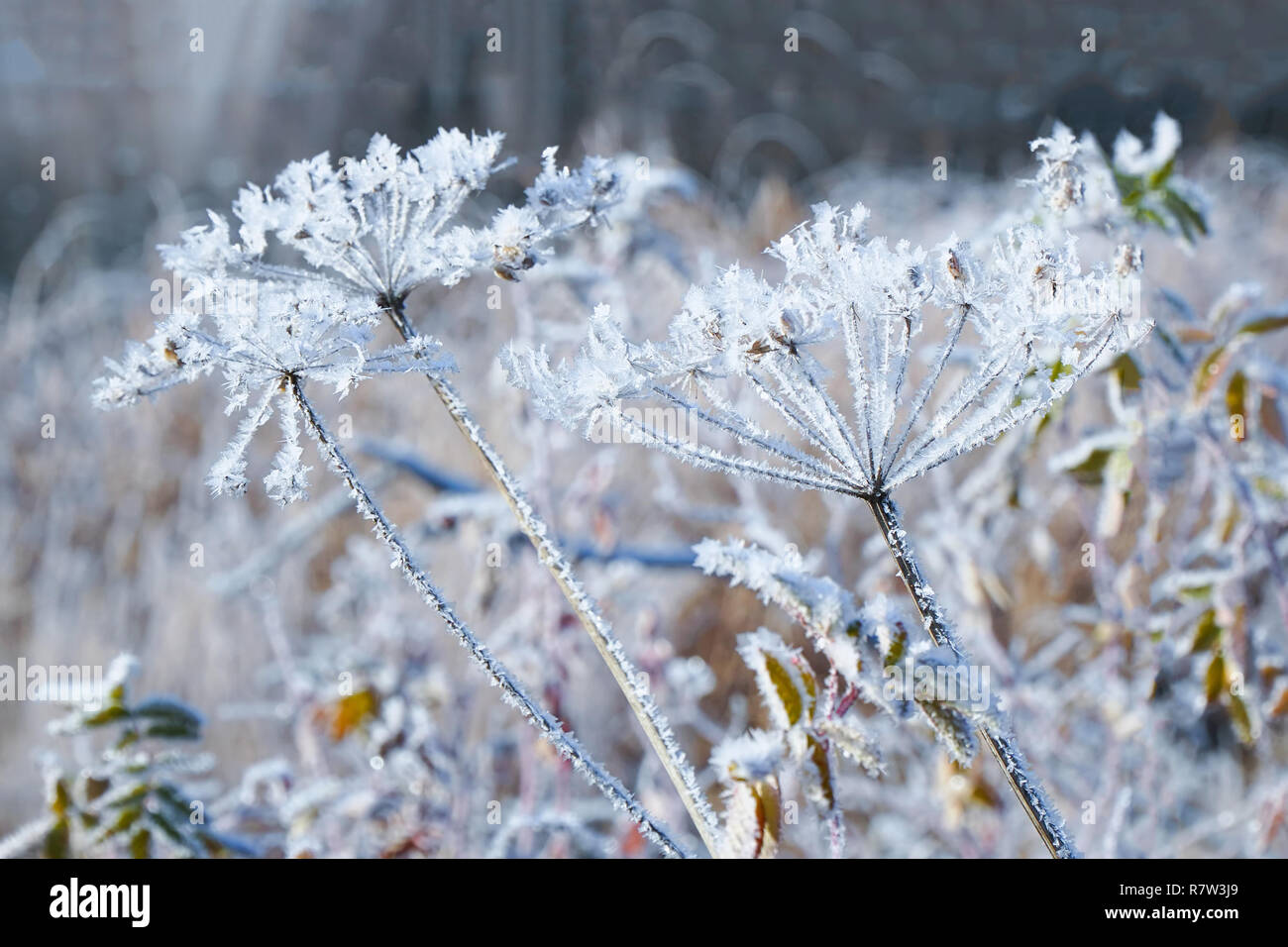 The beautiful Inflorescences covered with hoarfrost and small ice Stock Photo