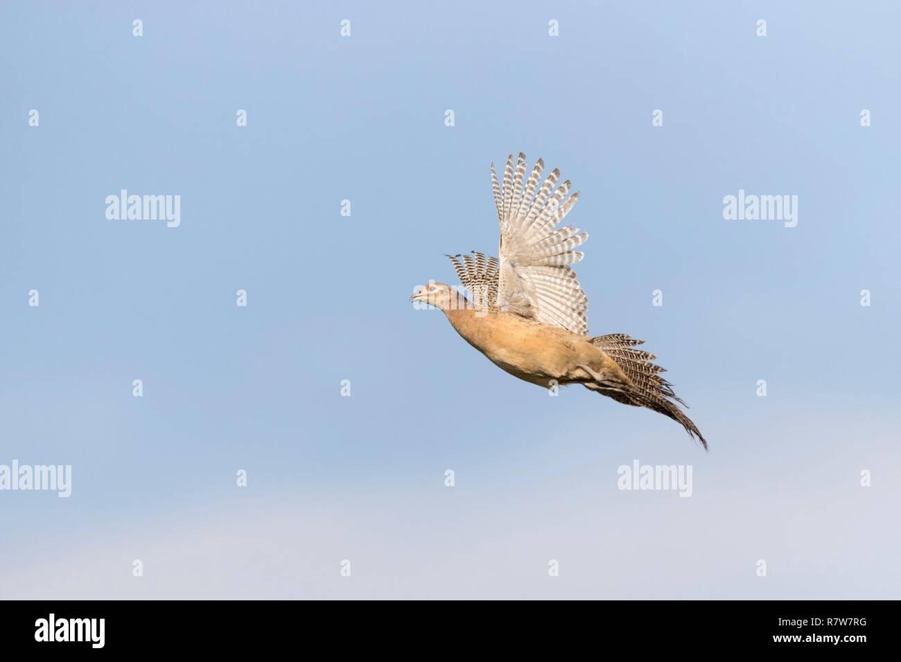 France, Bas Rhin, Common Pheasant (Phasianus colchicus), female - Stock Image