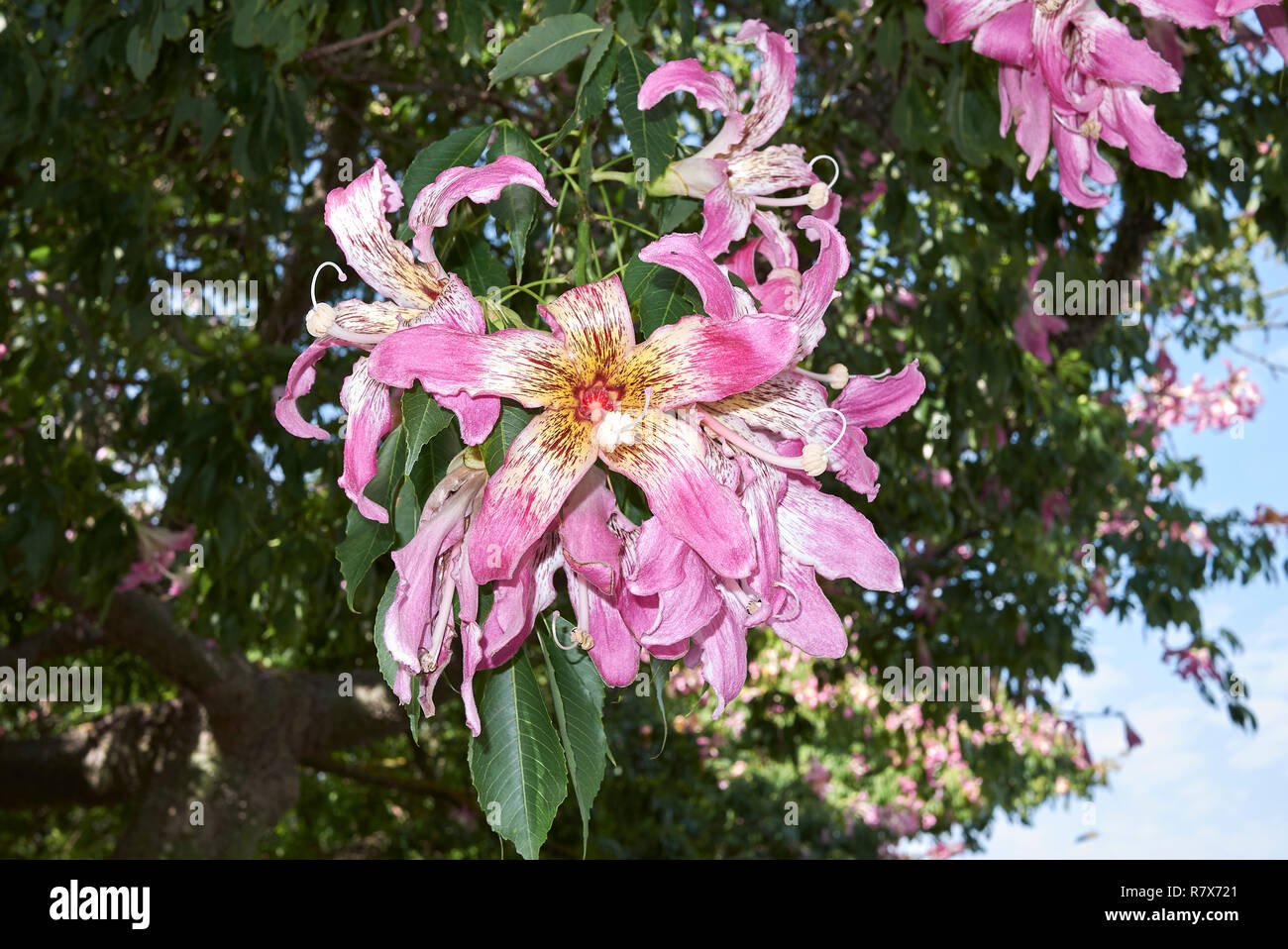 Ceiba speciosa pink blossom Stock Photo