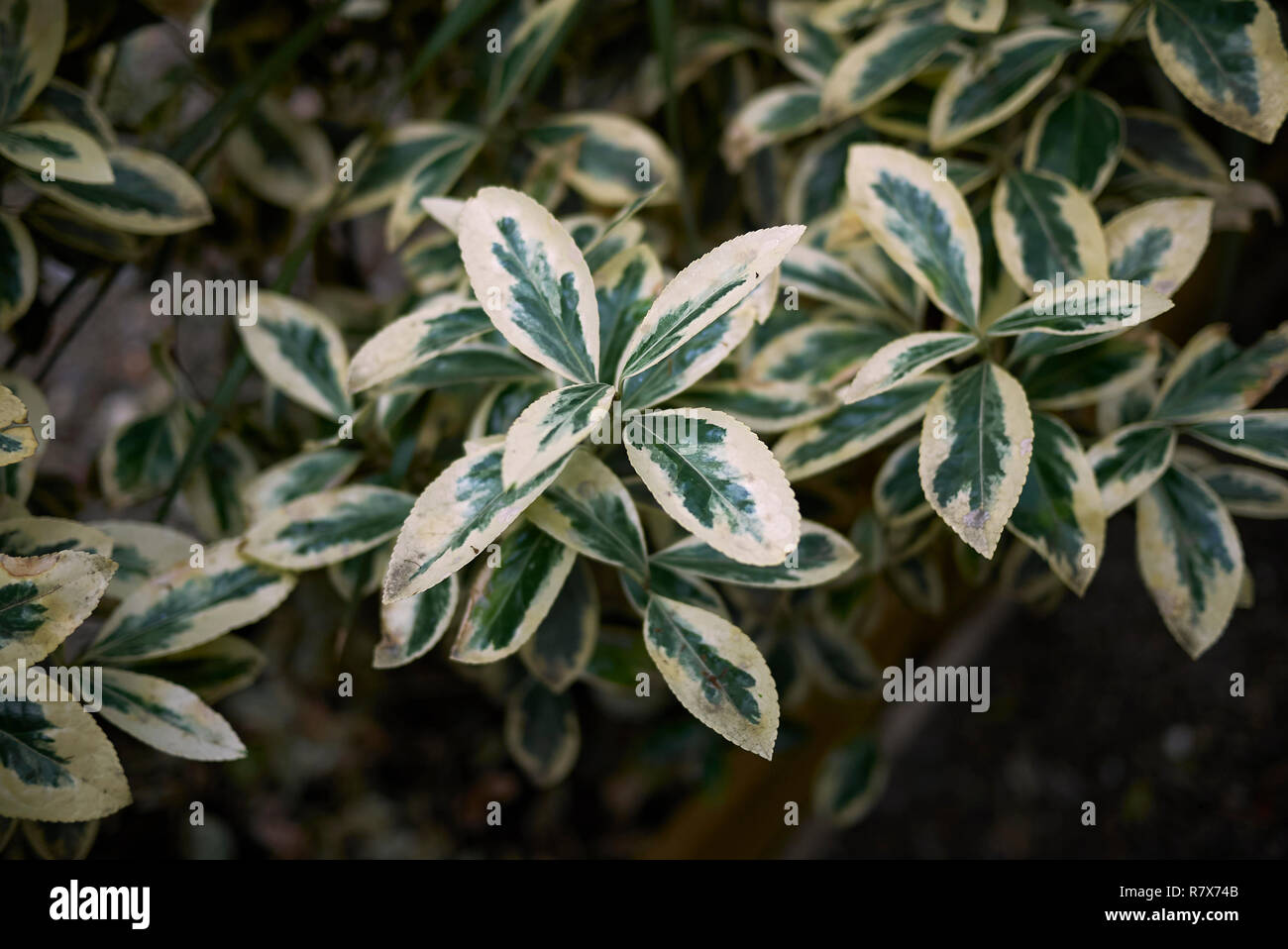 Euonymus fortunei variegated leaves - Stock Image
