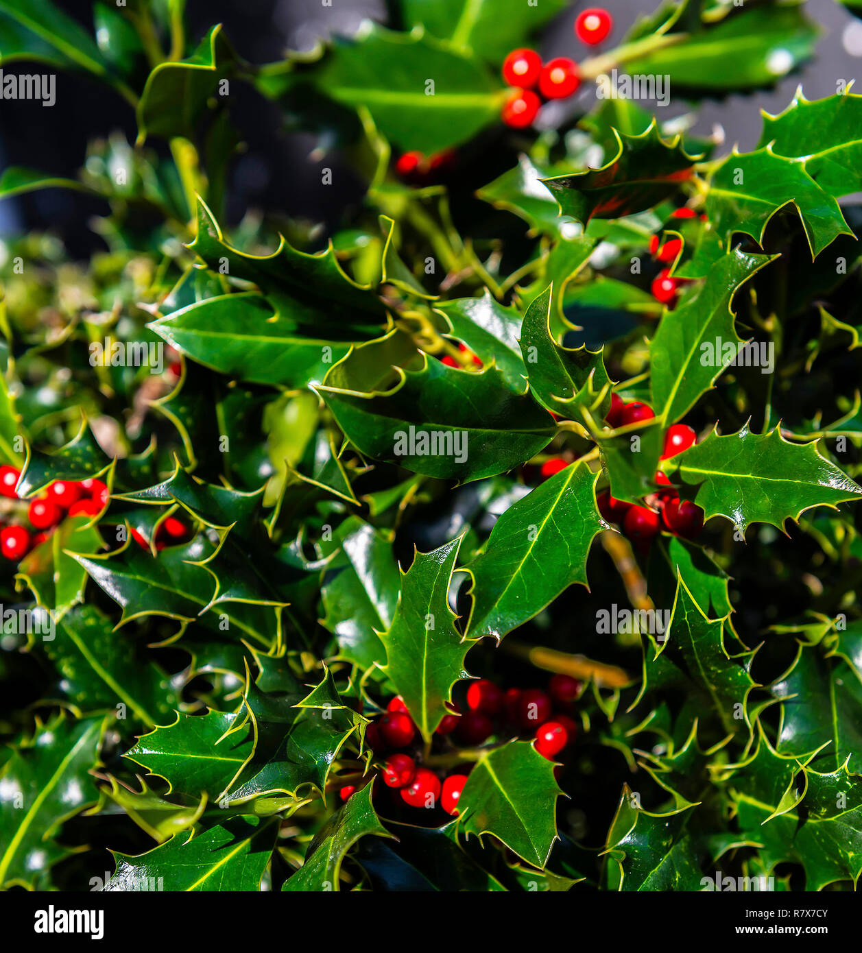 Holly bush with red berries The prickly green plant and its red berries are a popular ornament to enliven homes with little Christmas spirit - Stock Image