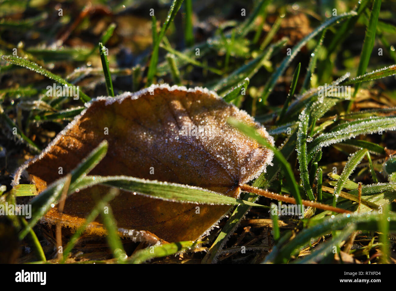 Frozen and frost-covered leaves on an early winter morning, close view. Stock Photo