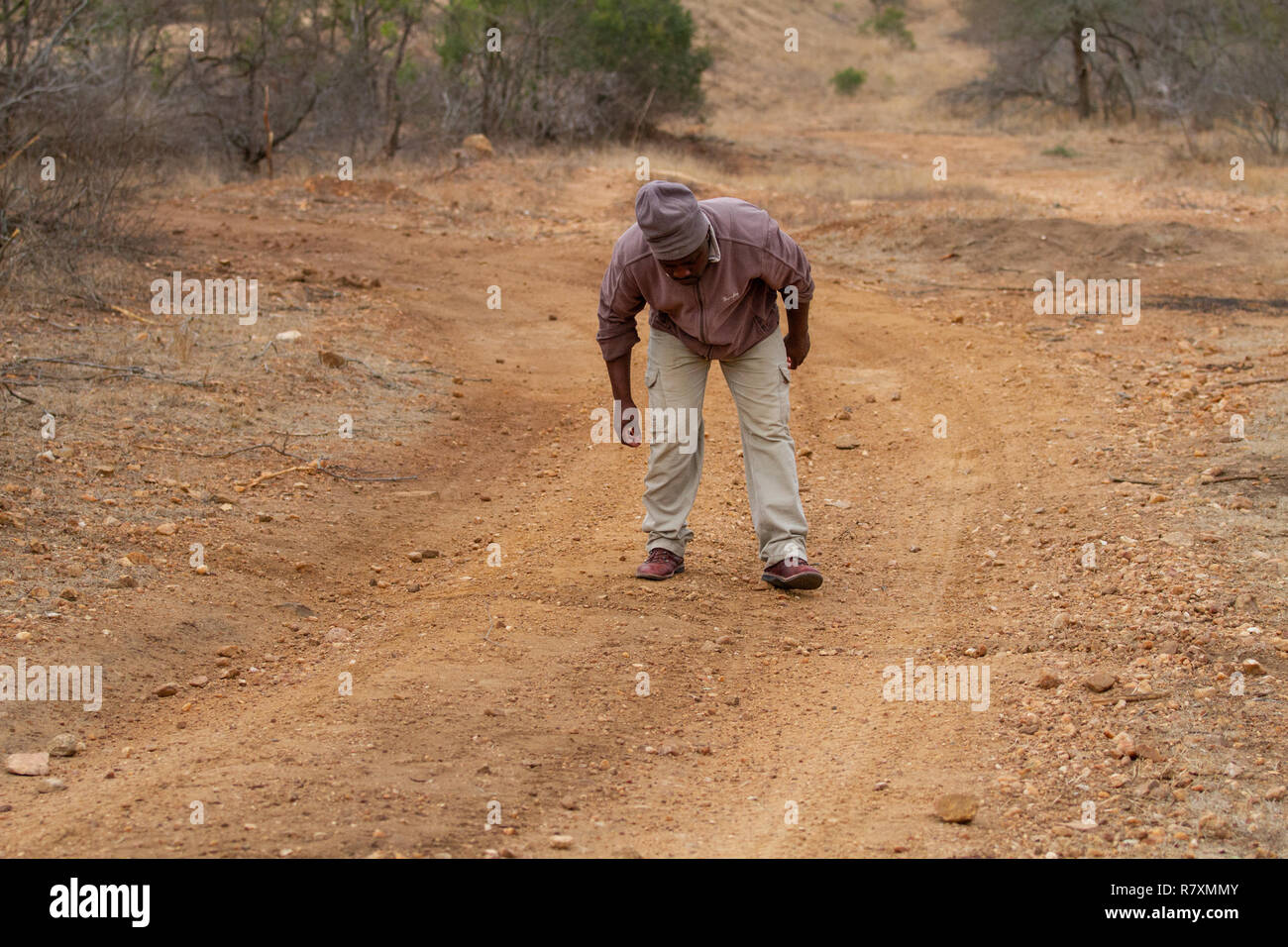 South Africa wildlife: tracker following the drag marks left by a leopard dragging its kill across the road - Stock Image