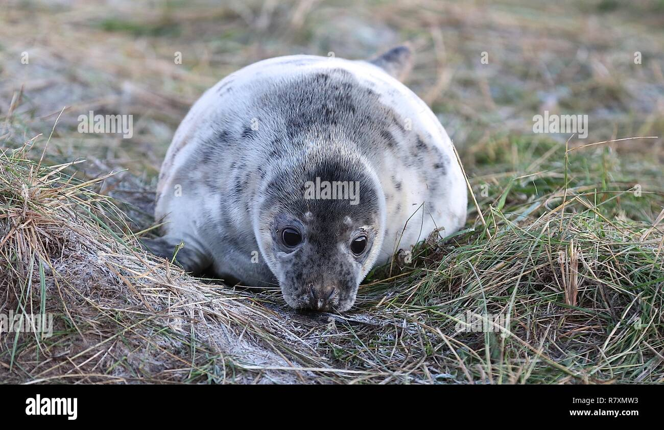 Donna Nook Seal reserve Lincolnshire 2018 - Stock Image