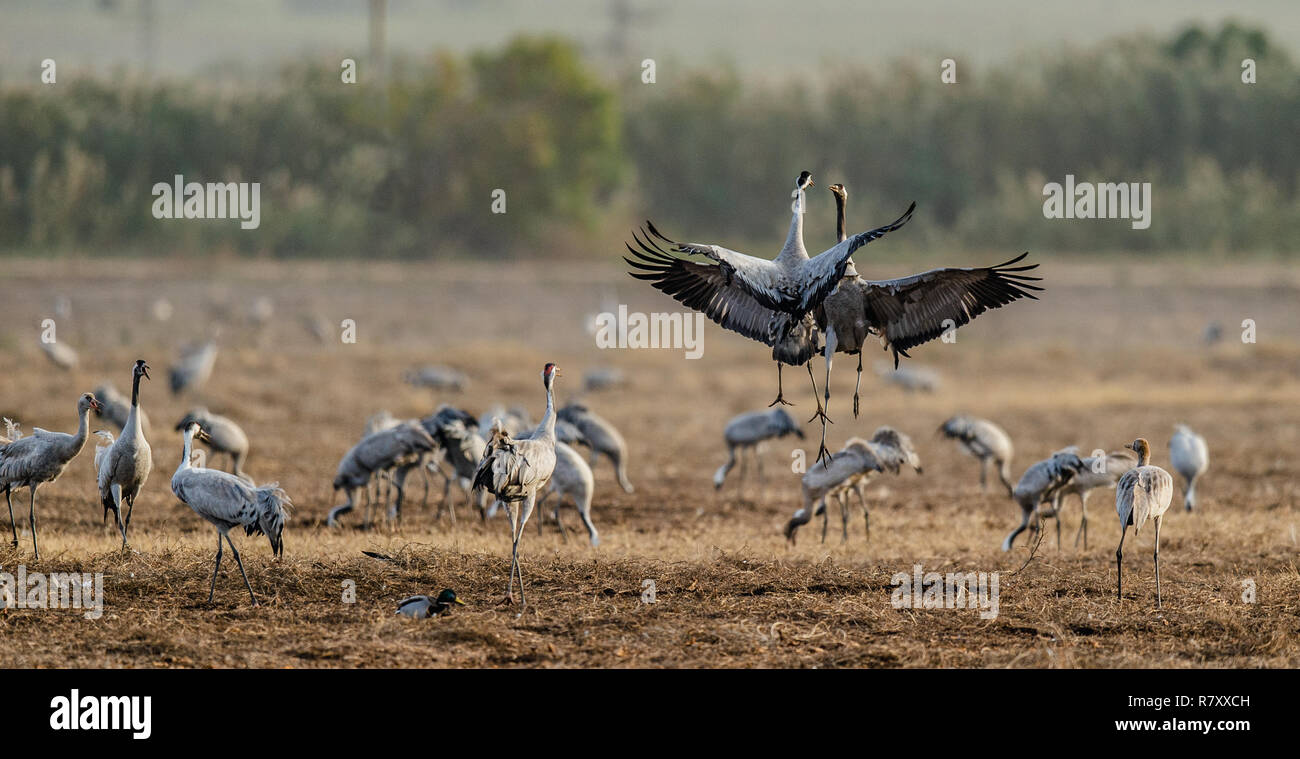 Dancing Cranes  in  arable field.  Common Crane, Scientific name: Grus grus, Grus communis.  Cranes Flock on the field at foggy early morning. - Stock Image