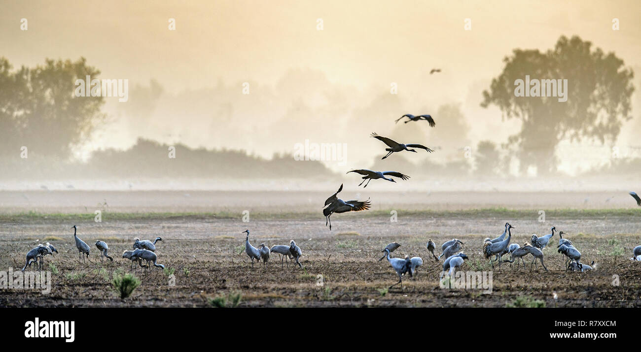 Cranes in a field foraging. Common Crane, Grus grus, in the natural habitat. Feeding of the cranes at sunrise in the national Park Agamon of Hula Vall - Stock Image