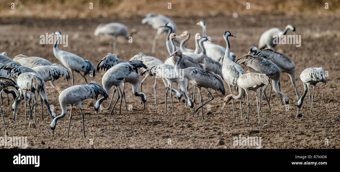 Cranes  in a field foraging.  Common Crane, Scientific name: Grus grus, Grus communis.  Cranes Flock on the field at foggy early morning. - Stock Image