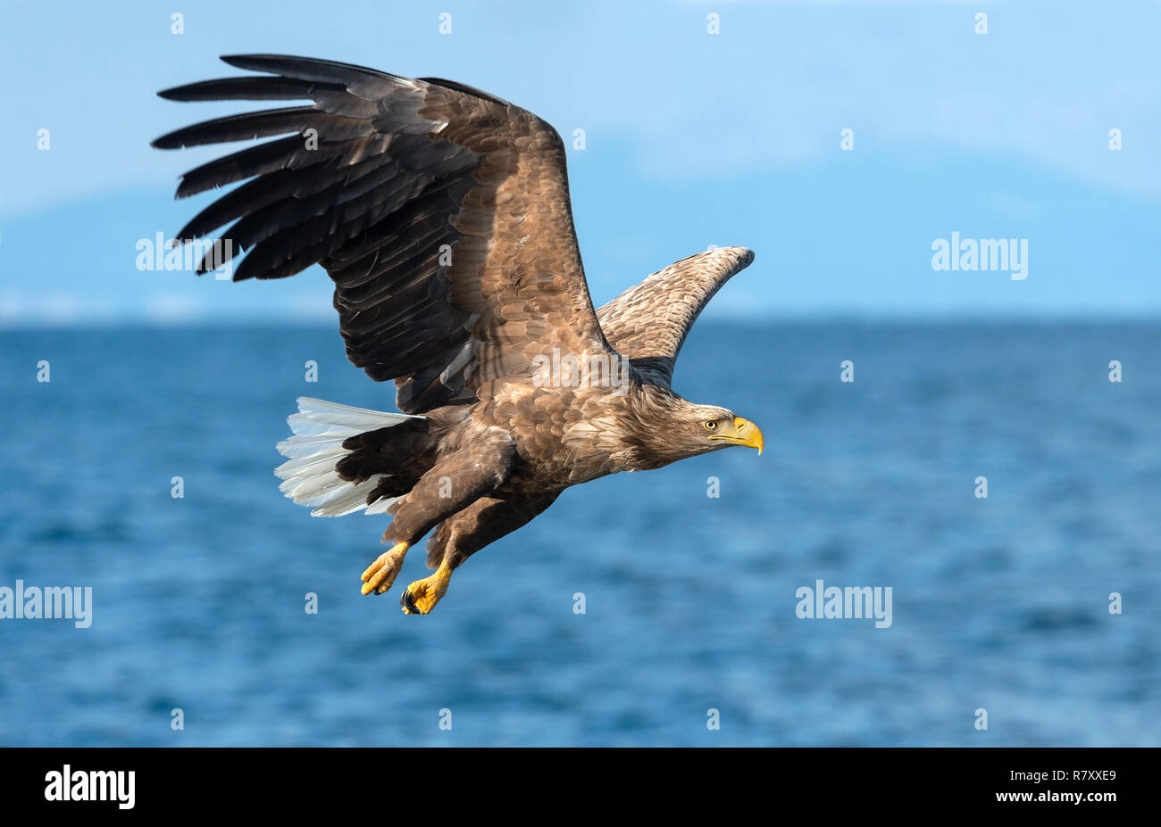 Adult White-tailed eagles fishing. Blue Ocean  background. Scientific name: Haliaeetus albicilla, also known as the ern, erne, gray eagle, Eurasian se Stock Photo