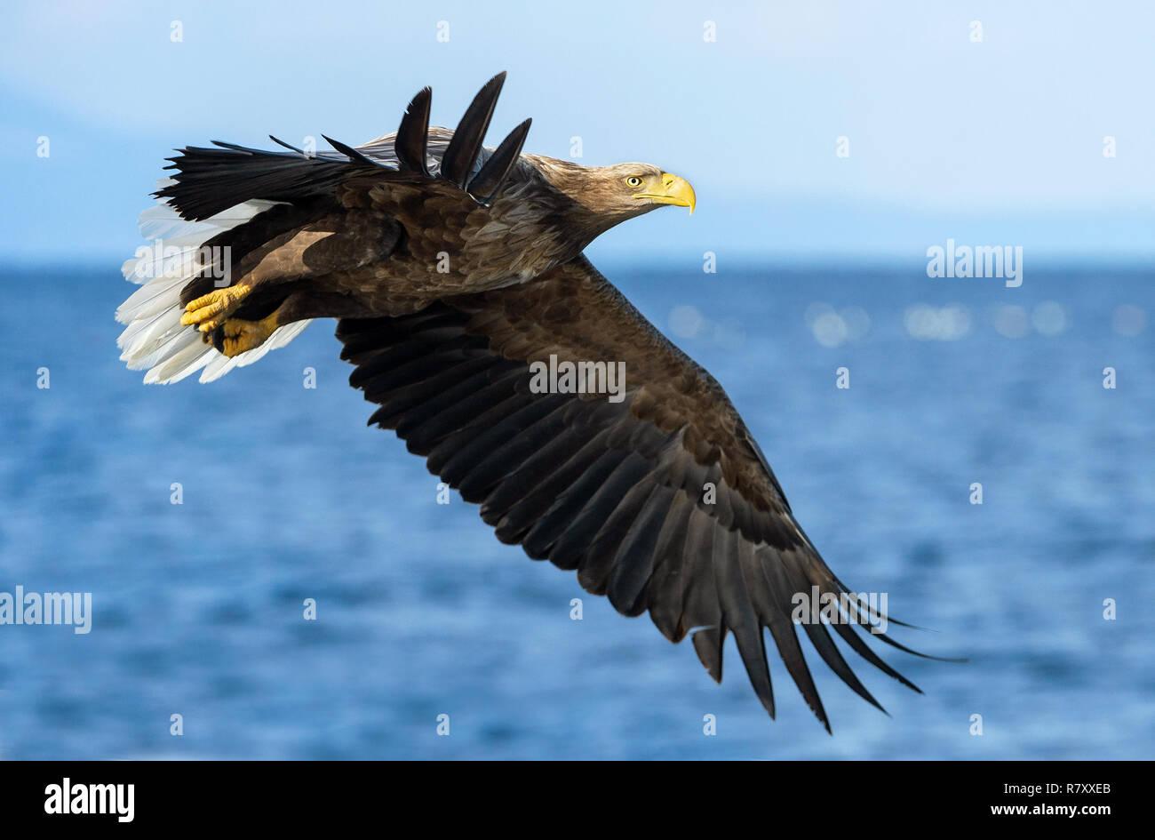 Adult White-tailed eagles fishing. Blue Ocean  background. Scientific name: Haliaeetus albicilla, also known as the ern, erne, gray eagle, Eurasian se Stock Photo
