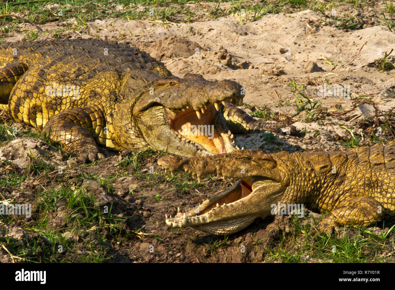 2 large female Crocodiles cool by letting the breeze flow over their moist gular membranes as the sit gaurding thir nest sites dug into the sand of th - Stock Image